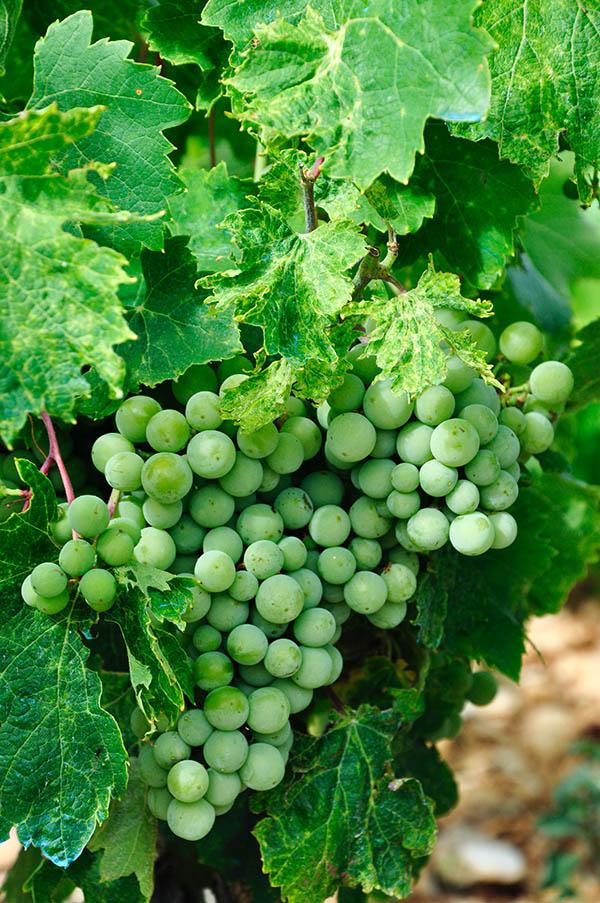Wine Phonetic Pronunciations and Descriptions