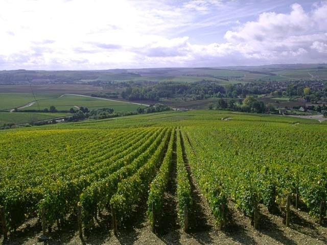 Arneis, Cortese, Erbaluce—Piedmont's Indigenous White Grapes